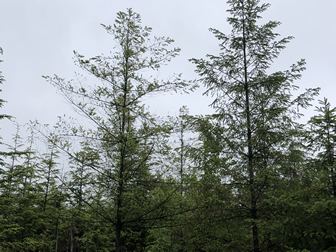 Climate of seed source affects susceptibility of Douglas-fir to foliage diseases