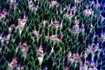 Thinning to create gaps in forest canopy increases structural variability in conifer plantations