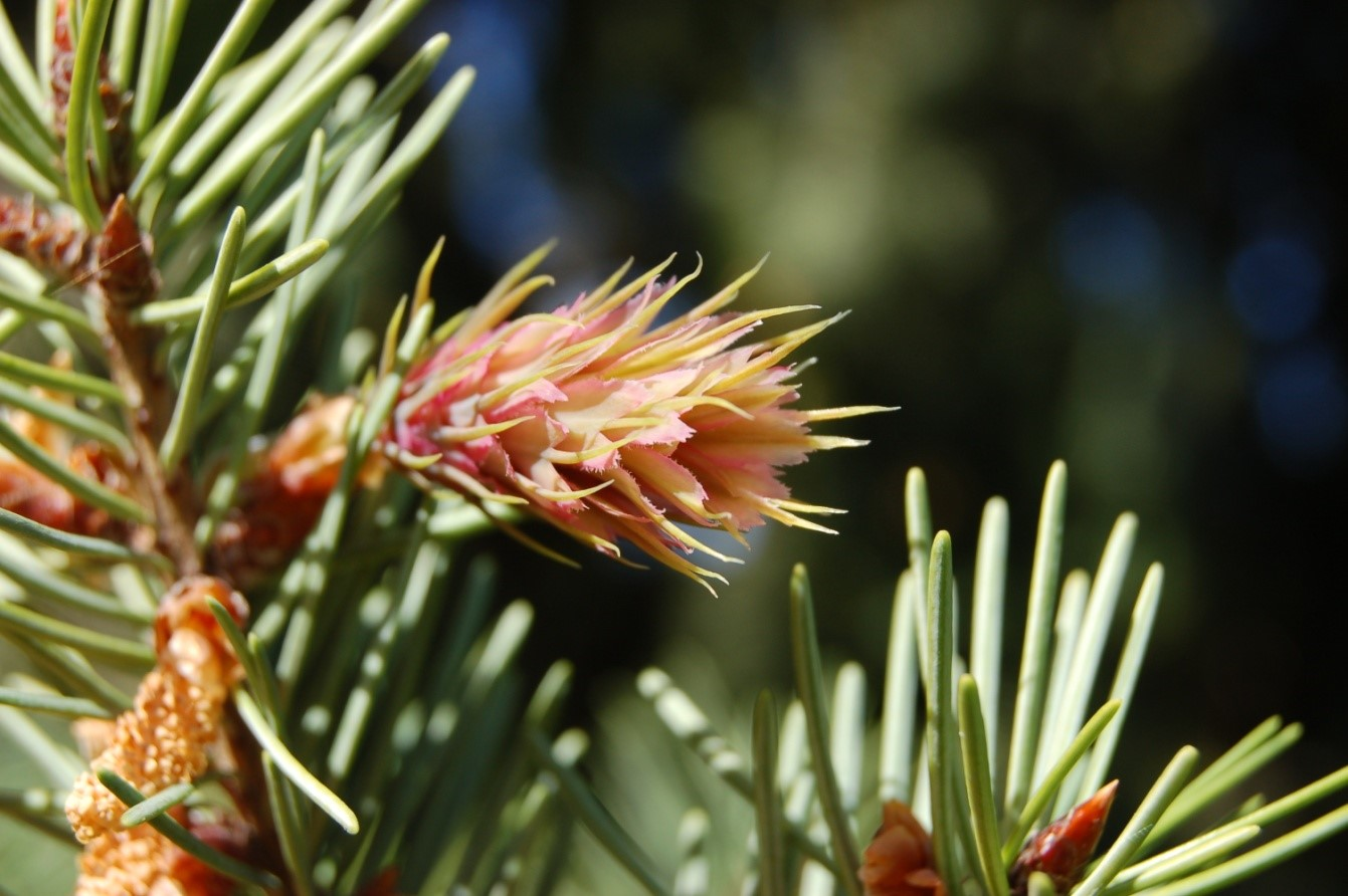 Douglas-fir flower. Photo by Janet Prevey.