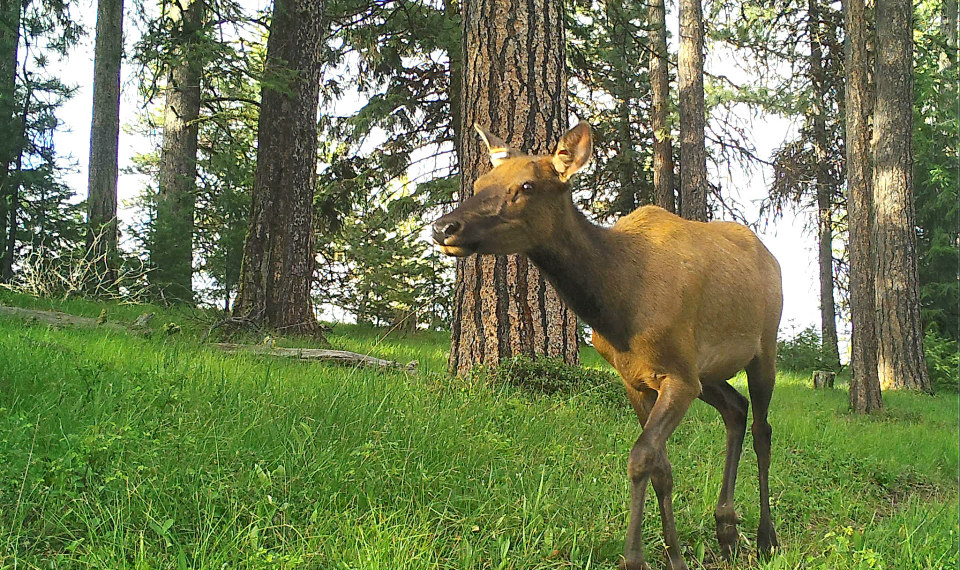 An elk on the move; image captured by a remote trail camera of an elk with forest in the background. Photo courtesy of the Oregon Department of Fish and Wildlife.