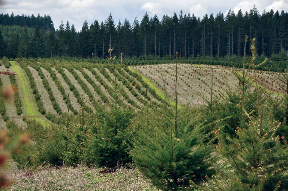 A private tree farm in western Oregon with rows of small trees extending into the distance. USDA Natural Resources Conservation Service photo.