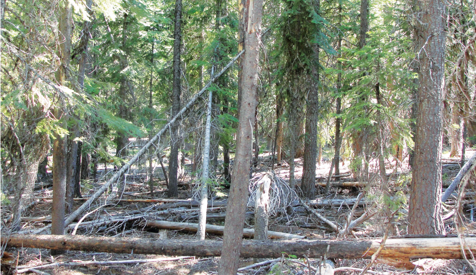 A densely stocked stand in the Deschutes National Forest. Photo courtesy Andrew Merschel.