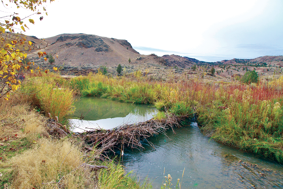 A beaver dam in Bridge Creek, Oregon, built atop a human-made beaver dam analog constructed to help restore habitat for threatened steelhead. Photo by Nick Weber.