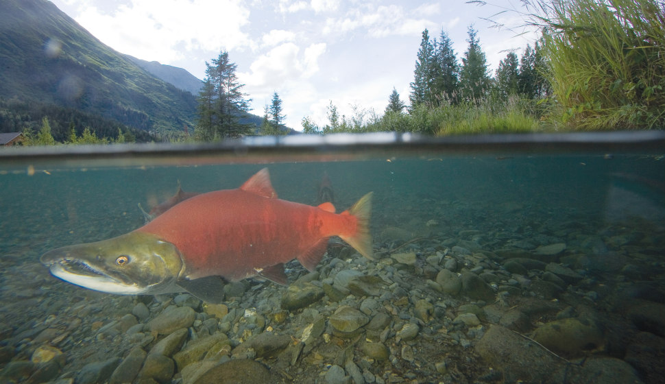 A spawning salmon in a stream.
