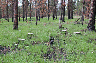 Soil fungi, key to forest health, are resilient to restoration thinning and prescribed fire