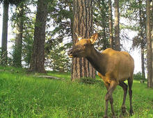 An elk on the move; image captured by a remote trail camera. Elk respond to the abundance of green forage that appears after prescribed fire, selecting burned sites during spring and early summer for more than a decade later.