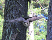 Northern spotted owl in flight