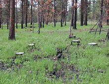 A study site in the Wallowa-Whitman National Forest, Oregon, that was thinned in 1998 and then burned in 2000.