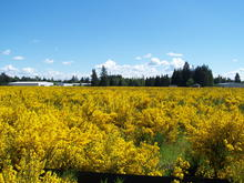 A field of 3-year-old Scotch broom that developed after mature Douglas-fir trees were harvested and soil disturbed for future development in Olympia, Washington. Photo credit: Tim Harrington.