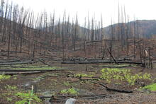 Ferns sending up new shoots in front of burned forest trees after the Riverside Fire along Highway224 on Mt. Hood National Forest.