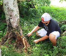 A researcher in Saipan, the largest of the Northern Mariana Islands, examines a tree infected with brown root rot.