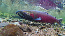 Coho salmon (Oncorhynchus kisutch) spawning in the Salmon River in Oregon.