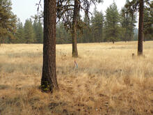 A forest study plot 20 years after mechanical thinning followed by a prescribed burn.
