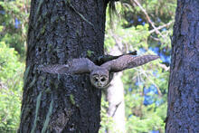 A northern spotted owl flies towards the camera with wings outstretched.