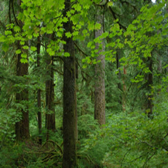 Douglas-fir forest in western Oregon.