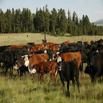 A rancher herds cattle. USDA Forest Service photo.