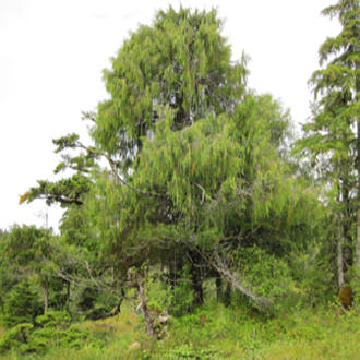 Yellow-cedar growing in Cedar Bay, Alaska.