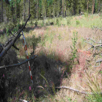 A cheatgrass invasion after burning in a ponderosa pine-bunch grass plant community on the Malheur National Forest, Oregon