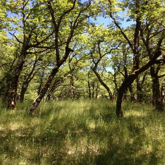High biodiversity oak woodlands like these in Humboldt County, California are imperiled by fire exclusion that results in encroachment by Douglas-fir.
