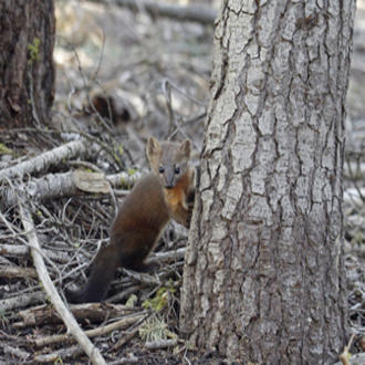 A Pacific marten (Martes caurina) in Lassen National Forest, California. USDA Forest Service photo by Katie Moriarty.