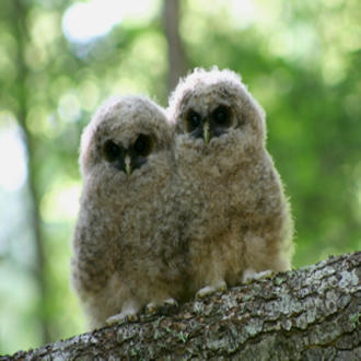 Two northern spotted owlets. Photo courtesy of U.S. Fish and Wildlife Service/Flickr.