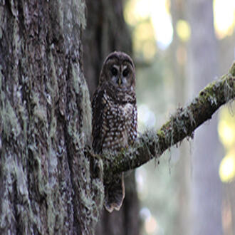 Northern spotted owl sits on tree branch