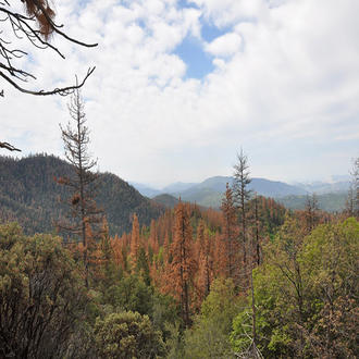 Dead and dying ponderosa pine and sugar pine in California