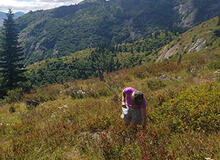 Hiker picking huckleberries in the Cascade Range, Washington.