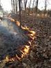 A prescribed fire spreading through a mixture of post oak and blackjack oak in north Mississippi (Chickasaw County).