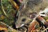 For about 12 years after the eruption, the deer mouse was the dominant mammal on the pumice plain. The deer mouse also survived in the blowdown zone (photo by Charlie Crisafulli).