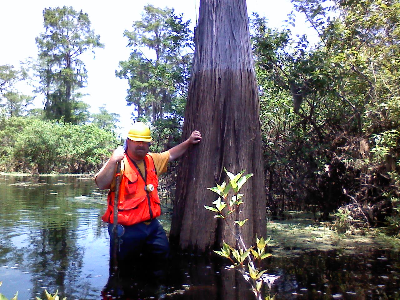 Measuring cypress trees.