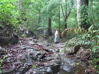Photo of Large trees occupy a drainage inside Eco-park. Yiscel Y�ng?ez, Panama
