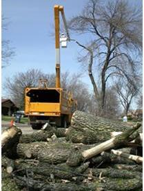 Photo of Contractors removing trees infested by EAB, as part of an early effort to contain outlier populations in Shields, MI, 2004 (photo by David Cappaert). Dead landscape ash; second tree shows epicormic shoots characteristic of decline caused by EAB in Ann Arbor, MI. David Cappaert, Michigan State University