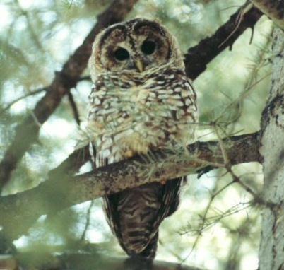 Photo of Researchers are gathering data on Mexican spotted owl habitat. Forest Service