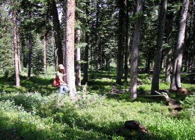 Photo of Partially cut Engelmann spruce stand, Routt National Forest, Colorado. Forest Service