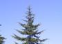 Photo of Douglas-fir is a highly valued tree in the western United States. Forest Service