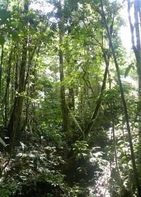 Photo of Forest interior in a permanent plot in Amazonian Peru; note the buttressed tree being measured at 5m with the help of a ladder. Abel Monteagudo-Mendoza, University of Leeds, UK