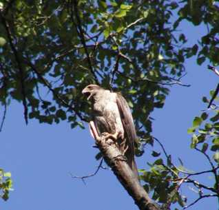 Photo of Adult goshawk in northern hardwood stand in Chequamegon-Nicolet National Forest, Wisconsin. Forest Service