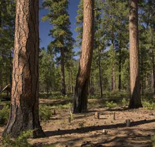 Photo of A stand of ponderosa pine in central Oregon after thinning and prescribed burning. Tom Iraci, Forest Service