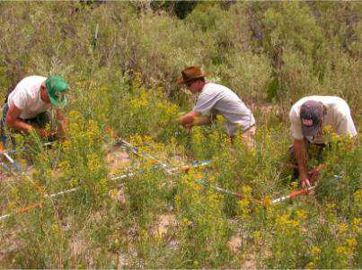 Use of insects tested to control invasive riparian weed