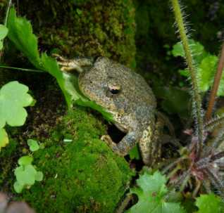 Photo of Juvenile foothill yellow-legged frog. Ryan Peek, Forest Service