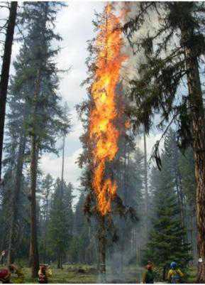Photo of The telltale red needles of a mountain pine beetle attacked tree contain 10 times less water than those of a similar healthy green tree, and these low moisture contents cause the red foliage to ignite quickly and easily.  This red-needle lodgepole pine tree was ignited from a single point source on its lowest branches; the entire tree was quickly consumed in flames. Forest Service