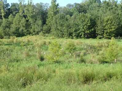 Photo of Riparian wetland restoration in progress, with planted cypress trees. Forest Service