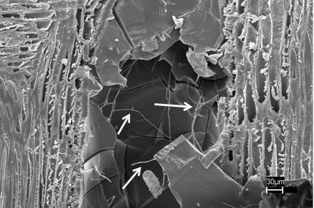 An unidentified waxy substance in honey mesquite cells creates a physical barrier against fungal hyphae. Tom Kuster, Forest Service