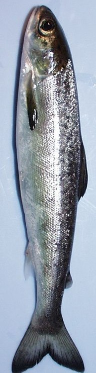 Photo of Altantic salmon smolt, ready to migrate to the ocean. Forest Service