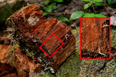 Photo of Decayed red spruce (Picea rubens) penetrated by fine roots, mycelium, and mycelial cords after 12 years in ground contact. Cords are pathways for wood decay fungus to exchange chemical elements between decaying wood and forest soil. Kevin Smith, Forest Service