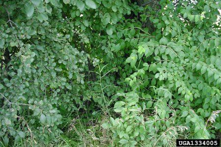 Photo of Infestation of European buckthorn (Rhamnus cathartica L.) on left with bush honeysuckle on right. Chris Evans, River to River Cooperative Weed Management Area, Bugwood.org