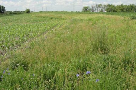 Photo of Prairie strip embedded in an agricultural (corn) watershed.  Prairie strips increase nutrient and sediment retention, reduce runoff, and increase biodiversity.  Iowa State University
