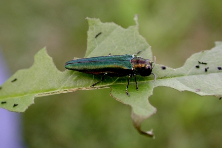 Photo of Emerald ash borer adult feeding on an ash leaf. Deborah Miller Forest Service