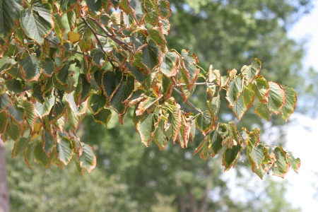 Photo of Leaf scorch is a drought symptom in linden trees.  Joseph O'Brien, Forest Service
